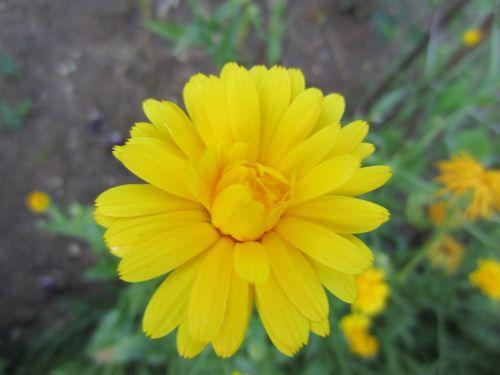 Endless sunny marigolds