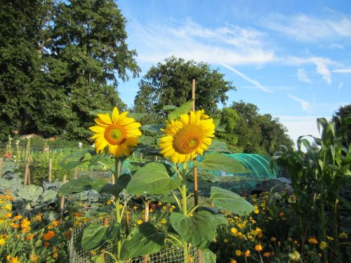 Sunflowers on allotment