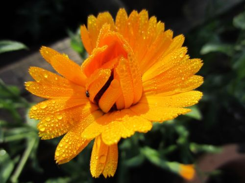 Marigold with raindrops