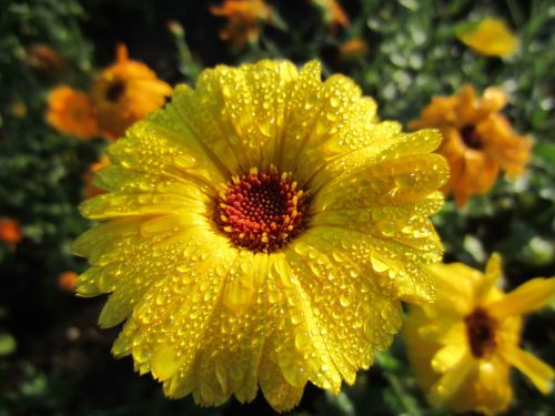 Rain laden yellow marigold