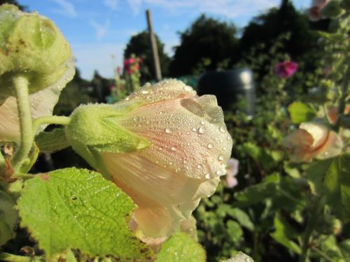 Raindrops on apricot hollyhock flower