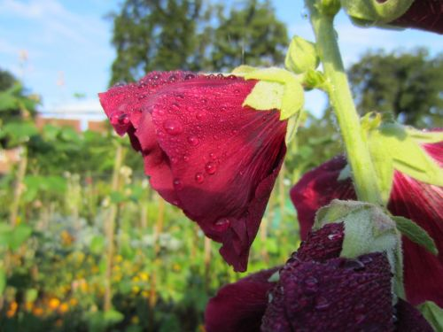 Raindrops on red wine hollyhock