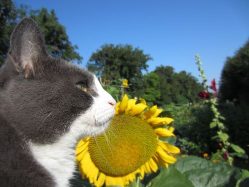 Cat and sunflower