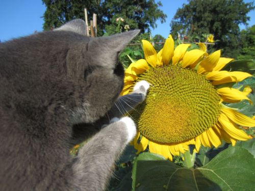 Cat paws sunflower