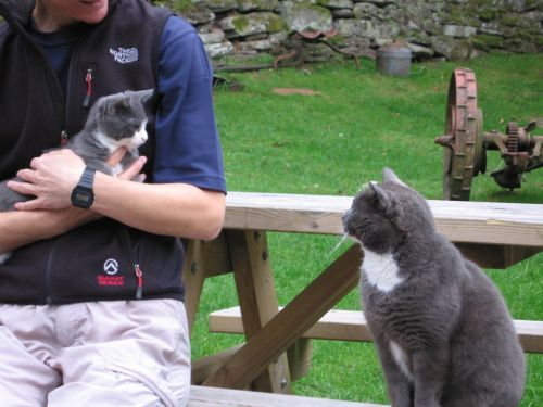 Two grey and white farm cats meet