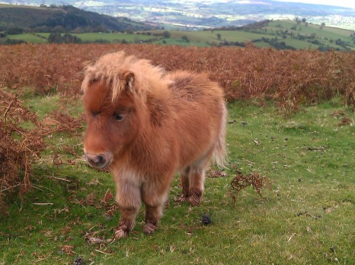 Cute Montain Pony Hay Bluff